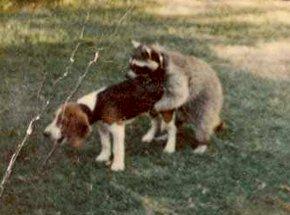 Name:  coon-hound.jpg Views: 56 Size:  15.1 KB